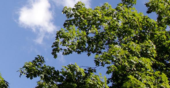 Grünes Blätterdach vor blauem Himmel