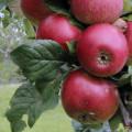 Streuobst Apfel